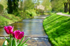 Tulips and the Oos River in Baden-Baden Royalty Free Stock Photos