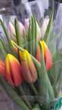 Tulips. Orange stock images