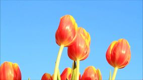 Tulips orange yellow stock video footage
