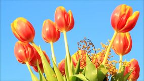Tulips orange yellow with mimosa stock footage