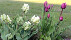 Tulips outside in spring stock video