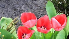 Tulips outside in spring stock video footage