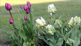 Tulips outside in spring stock footage
