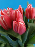 Tulips over Blue Royalty Free Stock Photos