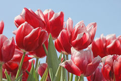 Tulips over blue sky Royalty Free Stock Photo