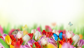 Tulips over blurred green background Royalty Free Stock Images