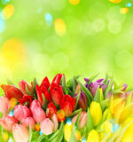 Tulips over blurred green background. Fresh spring flowers. Lens Stock Image