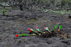 Tulips over burned ground. Red tulips over burned ground after forest fire. Some garden tools are left as well royalty free stock photo