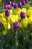 Tulips over natural background Royalty Free Stock Photos