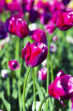 Tulips over natural background Royalty Free Stock Images