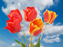 Tulips over sky Royalty Free Stock Photo