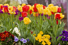 Tulips and Pansies Royalty Free Stock Image