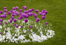 Tulips and Pansies Stock Photography