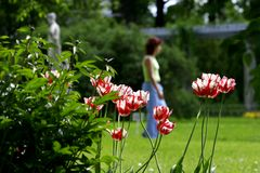 Tulips in park. Walking girl on background Royalty Free Stock Photography