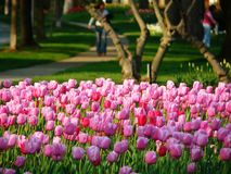 Tulips in a park. Pink tulip garden, people walking in the background Stock Photos