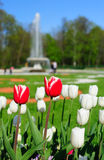 Tulips in the park Royalty Free Stock Photo