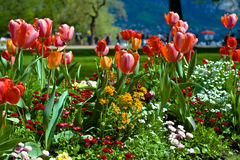 Tulips in park Royalty Free Stock Photo