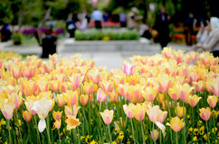 Tulips at park Stock Images