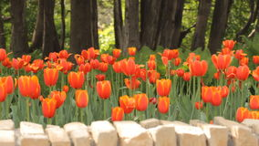 Tulips in the park stock footage