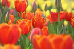 Tulips in a park Royalty Free Stock Photos