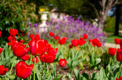 Tulips in a park. Foreground of tulips with other flowers and trees in the background Stock Photography
