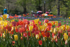 Tulips in the Park Royalty Free Stock Image