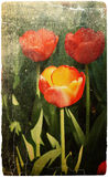 Tulips in the park. Photo in vintage image style. Royalty Free Stock Image
