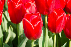 Tulips in the park Royalty Free Stock Photography
