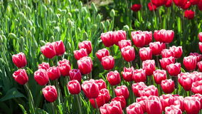 Tulips in a Park. Red Tulip flowers tranquil sway in slight wind stock video