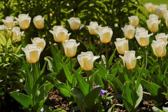 Tulips in the park. Spring outdoor landscape. Royalty Free Stock Photography