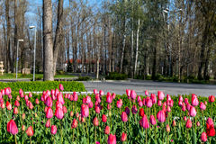 Tulips. In the park springtime Royalty Free Stock Image