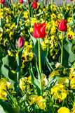 Tulips. In the park springtime Stock Photography