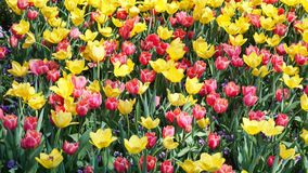 Tulips in the Park. Royalty Free Stock Image