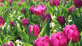 Tulips in the Park. Stock Photo