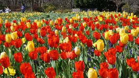 Tulips in the Park. Stock Photos