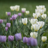 Tulips in the park Stock Image