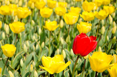 Tulips in the park Stock Photography
