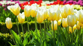 Tulips in a Park. Yellow Tulip flowers tranquil sway in slight wind stock video