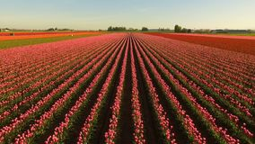 Pink Tulips Bend Towards Sunlight Floral Agriculture Flowers. The Tulips are partially open to collect sunshine at this agricultural farm thet produces beautiful stock footage