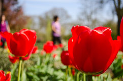 Tulips people background. A patch of tulips with people walking in the background Royalty Free Stock Photos
