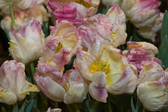 Multi colored tulips Royalty Free Stock Images