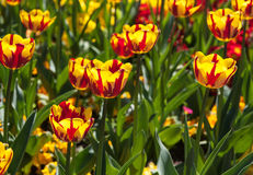 Tulips. The photo shows the tulips Stock Photo