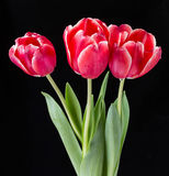 Tulips. Pink tulips on a black background Stock Images