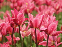 Tulips in pink. Royalty Free Stock Image