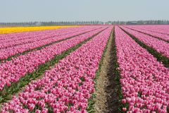 Tulips in pink color Stock Image