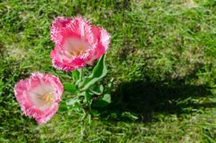 Pink white two tulips with terry petals on grass background royalty free stock photos