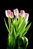 Tulips. pink flowers  on a Black background Royalty Free Stock Image