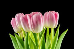 Tulips. pink flowers isolated on a Black background Stock Image