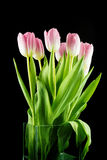 Tulips. pink flowers isolated on a Black background Royalty Free Stock Photography