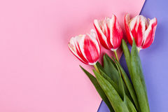 Tulips on pink surface. Royalty Free Stock Image
